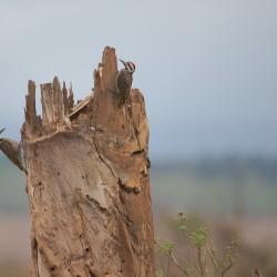 <b>Bearded Woodpeckers (dendropicos namaquus)</b> | Kamera: NIKON D610 | Brennweite: 500mm | Blende: ƒ/6.3 | Verschlusszeit: 1/320s | ISO: 200