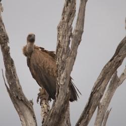 <b>White backed vulture (gyps africanus)</b> | Kamera: NIKON D610 | Brennweite: 500mm | Blende: ƒ/6.3 | Verschlusszeit: 1/250s | ISO: 200