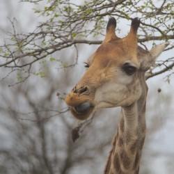 <b>Giraffe (Giraffa camelopardalis)</b> | Kamera: NIKON D610 | Brennweite: 500mm | Blende: ƒ/6.3 | Verschlusszeit: 1/200s | ISO: 400