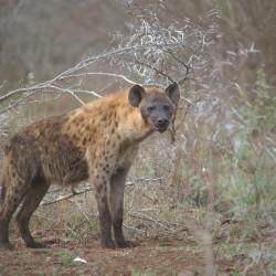 <b>Spotted hyena (Crocuta crocuta)</b> | Kamera: NIKON D610 | Brennweite: 400mm | Blende: ƒ/6.3 | Verschlusszeit: 1/200s | ISO: 400