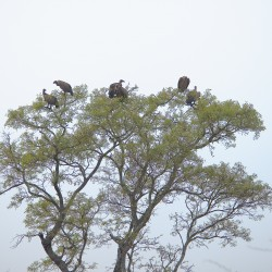 <b>White backed vultures (gyps africanus)</b> | Kamera: NIKON D610 | Brennweite: 190mm | Blende: ƒ/5.3 | Verschlusszeit: 1/1000s | ISO: 400