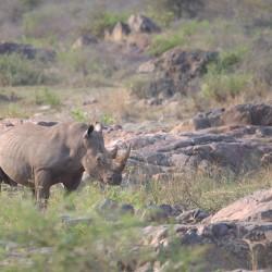 <b>White rhinoceros (Ceratotherium simum)</b> | Kamera: NIKON D610 | Brennweite: 500mm | Blende: ƒ/6.3 | Verschlusszeit: 1/400s | ISO: 400