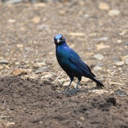<b>Greater blue-eared starling (Lamprotornis chalybaeus)</b> | Kamera: NIKON D610 | Brennweite: 500mm | Blende: ƒ/6.3 | Verschlusszeit: 1/250s | ISO: 200