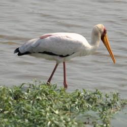 <b>Yellow-billed stork (Mycteria ibis), Nimmersatt</b> | Kamera: NIKON D610 | Brennweite: 290mm | Blende: ƒ/6 | Verschlusszeit: 1/1250s | ISO: 200