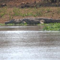 <b>Nile crocodile (Crocodylus niloticus)</b> | Kamera: NIKON D610 | Brennweite: 500mm | Blende: ƒ/6.3 | Verschlusszeit: 1/640s | ISO: 200