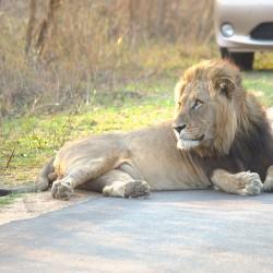 <b>Lion (Panthera leo)</b> | Kamera: NIKON D610 | Brennweite: 450mm | Blende: ƒ/7.1 | Verschlusszeit: 1/100s | ISO: 400