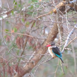 <b>Brown-hooded kingfisher (Halcyon albiventris)</b> | Kamera: NIKON D610 | Brennweite: 500mm | Blende: ƒ/7.1 | Verschlusszeit: 1/40s | ISO: 800