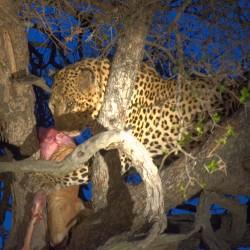 <b>Leopard (Panthera pardus)</b> | Kamera: NIKON D610 | Brennweite: 200mm | Blende: ƒ/6.3 | Verschlusszeit: 1/20s | ISO: 1250