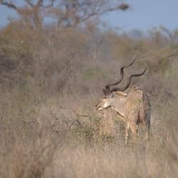<b>Greater kudu (Tragelaphus strepsiceros)</b> | Kamera: NIKON D610 | Brennweite: 500mm | Blende: ƒ/6.3 | Verschlusszeit: 1/400s | ISO: 200