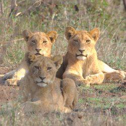 <b>Lions (Panthera leo)</b> | Kamera: NIKON D610 | Brennweite: 1000mm | Blende: ƒ/20 | Verschlusszeit: 1/30s | ISO: 200