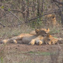 <b>Lions (Panthera leo)</b> | Kamera: NIKON D610 | Brennweite: 850mm | Blende: ƒ/18 | Verschlusszeit: 1/60s | ISO: 200