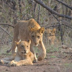 <b>Lions (Panthera leo)</b> | Kamera: NIKON D610 | Brennweite: 1000mm | Blende: ƒ/16 | Verschlusszeit: 1/50s | ISO: 200