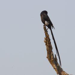 <b>Magpie Shrike (Corvinella melanoleuca)</b> | Kamera: NIKON D610 | Brennweite: 350mm | Blende: ƒ/18 | Verschlusszeit: 1/160s | ISO: 200