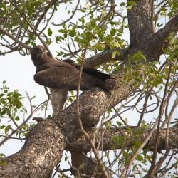 <b>Martial eagle</b> | Kamera: NIKON D610 | Brennweite: 450mm | Blende: ƒ/6.3 | Verschlusszeit: 1/500s | ISO: 200