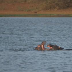 <b>Hippopotamus (Hippopotamus amphibius)</b> | Kamera: NIKON D610 | Brennweite: 500mm | Blende: ƒ/6.3 | Verschlusszeit: 1/500s | ISO: 200