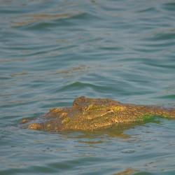 <b>Nile crocodile (Crocodylus niloticus)</b> | Kamera: NIKON D610 | Brennweite: 500mm | Blende: ƒ/6.3 | Verschlusszeit: 1/400s | ISO: 200