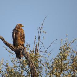 <b>Steppe eagle (Aquila nipalensis)</b> | Kamera: NIKON D610 | Brennweite: 500mm | Blende: ƒ/6.3 | Verschlusszeit: 1/500s | ISO: 200