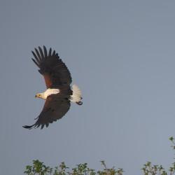 <b>African fish eagle (Haliaeetus vocifer)</b> | Kamera: NIKON D610 | Brennweite: 500mm | Blende: ƒ/6.3 | Verschlusszeit: 1/1000s | ISO: 200