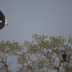 <b>African fish eagles (Haliaeetus vocifer)</b> | Kamera: NIKON D610 | Brennweite: 500mm | Blende: ƒ/6.3 | Verschlusszeit: 1/1000s | ISO: 200
