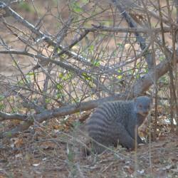 <b>Banded mongoose (Mungos mungo)</b> | Kamera: NIKON D610 | Brennweite: 500mm | Blende: ƒ/6.3 | Verschlusszeit: 1/60s | ISO: 200
