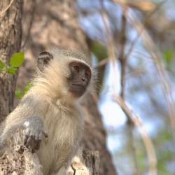 <b>Vervet monkey (Chlorocebus pygerythrus)</b> | Kamera: NIKON D610 | Brennweite: 150mm | Blende: ƒ/6.3 | Verschlusszeit: 1/250s | ISO: 200