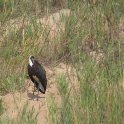 <b>Woolly-necked stork (Ciconia episcopus)</b> | Kamera: NIKON D610 | Brennweite: 500mm | Blende: ƒ/6.3 | Verschlusszeit: 1/1000s | ISO: 200