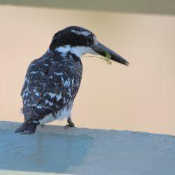<b>Pied kingfisher (Ceryle rudis)</b> | Kamera: NIKON D610 | Brennweite: 500mm | Blende: ƒ/6.3 | Verschlusszeit: 1/640s | ISO: 200