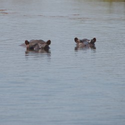 <b>Hippopotamus (Hippopotamus amphibius)</b> | Kamera: NIKON D610 | Brennweite: 500mm | Blende: ƒ/13 | Verschlusszeit: 1/800s | ISO: 400