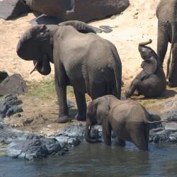 <b>African elephants (Loxodonta africana)</b> | Kamera: NIKON D610 | Brennweite: 500mm | Blende: ƒ/13 | Verschlusszeit: 1/400s | ISO: 400