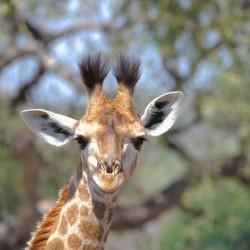 <b>Giraffe (Giraffa camelopardalis)</b> | Kamera: NIKON D610 | Brennweite: 500mm | Blende: ƒ/13 | Verschlusszeit: 1/320s | ISO: 400