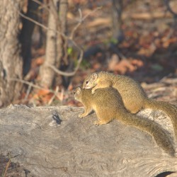 <b>African bush squirrel</b> | Kamera: NIKON D610 | Brennweite: 500mm | Blende: ƒ/13 | Verschlusszeit: 1/160s | ISO: 400