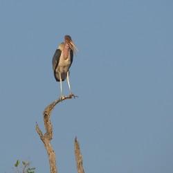<b>Marabou stork (Leptoptilos crumenifer)</b> | Kamera: NIKON D610 | Brennweite: 500mm | Blende: ƒ/13 | Verschlusszeit: 1/1000s | ISO: 400