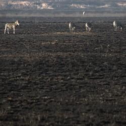 <b>Plains Zebras (Equus quagga burchellii) @ Golden Gate Highlands NP</b> | Kamera: NIKON D610 | Brennweite: 290mm | Blende: ƒ/6.3 | Verschlusszeit: 1/250s | ISO: 400