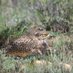 <b>Spotted Thick-knee (Burhinus capensis) @Camdeboo NP</b> | Kamera: NIKON D610 | Brennweite: 450mm | Blende: ƒ/6.3 | Verschlusszeit: 1/800s | ISO: 400