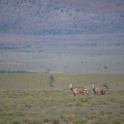 <b>Cape Mountain Zebras (Equus zebra zebra) @ Camdeboo NP</b> | Kamera: NIKON D610 | Brennweite: 500mm | Blende: ƒ/6.3 | Verschlusszeit: 1/1600s | ISO: 400
