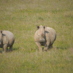 <b>White rhinoceros (Ceratotherium simum)</b> | Kamera: NIKON D610 | Brennweite: 500mm | Blende: ƒ/6.3 | Verschlusszeit: 1/800s | ISO: 200
