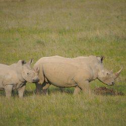 <b>White rhinoceros (Ceratotherium simum)</b> | Kamera: NIKON D610 | Brennweite: 450mm | Blende: ƒ/6.3 | Verschlusszeit: 1/1000s | ISO: 200