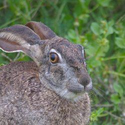 <b>Cape hare (Lepus capensis)</b> | Kamera: NIKON D610 | Brennweite: 500mm | Blende: ƒ/6.3 | Verschlusszeit: 1/160s | ISO: 800