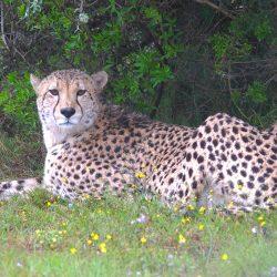 <b>Cheetah (Acinonyx jubatus)</b> | Kamera: NIKON D610 | Brennweite: 350mm | Blende: ƒ/6.3 | Verschlusszeit: 1/160s | ISO: 800