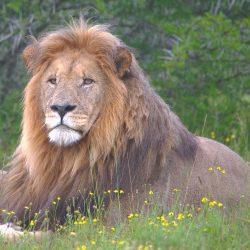 <b>Lion ♂ (Panthera leo)</b> | Kamera: NIKON D610 | Brennweite: 500mm | Blende: ƒ/6.3 | Verschlusszeit: 1/80s | ISO: 800