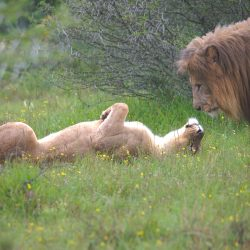 <b>Lion (Panthera leo)</b> | Kamera: NIKON D610 | Brennweite: 350mm | Blende: ƒ/6 | Verschlusszeit: 1/125s | ISO: 800