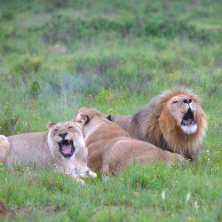 <b>Lions (Panthera leo)</b> | Kamera: NIKON D610 | Brennweite: 300mm | Blende: ƒ/6 | Verschlusszeit: 1/60s | ISO: 800
