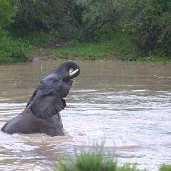 <b>African elephant (Loxodonta africana)</b> | Kamera: NIKON D610 | Brennweite: 150mm | Blende: ƒ/5.6 | Verschlusszeit: 1/50s | ISO: 800