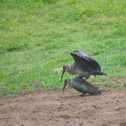 <b>Hadeda ibis (Bostrychia hagedash)</b> | Kamera: NIKON D610 | Brennweite: 500mm | Blende: ƒ/6.3 | Verschlusszeit: 1/250s | ISO: 200