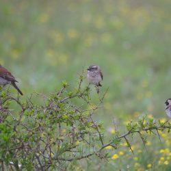 <b>Cape Sparrow  (Passer melanurus)</b> | Kamera: NIKON D610 | Brennweite: 500mm | Blende: ƒ/6.3 | Verschlusszeit: 1/160s | ISO: 200
