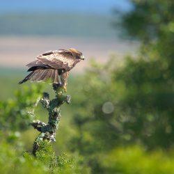 <b>Booted eagle (Hieraeetus pennatus)</b> | Kamera: NIKON D610 | Brennweite: 500mm | Blende: ƒ/6.3 | Verschlusszeit: 1/400s | ISO: 200
