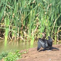 <b>Reed Cormorant (Phalacrocorax africanus)</b> | Kamera: NIKON D610 | Brennweite: 500mm | Blende: ƒ/14 | Verschlusszeit: 1/125s | ISO: 200