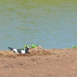 <b>Blacksmith Plover (Vanellus armatus)</b> | Kamera: NIKON D610 | Brennweite: 500mm | Blende: ƒ/14 | Verschlusszeit: 1/160s | ISO: 200