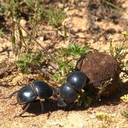 <b>Dung beetles</b> | Kamera: NIKON D610 | Brennweite: 500mm | Blende: ƒ/14 | Verschlusszeit: 1/200s | ISO: 200