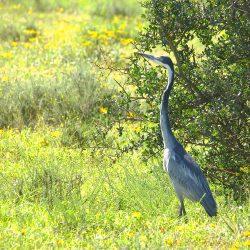 <b>Black-headed Heron (Ardea melanocephala) @Addo Elephant Park</b> | Kamera: NIKON D610 | Brennweite: 500mm | Blende: ƒ/14 | Verschlusszeit: 1/80s | ISO: 200